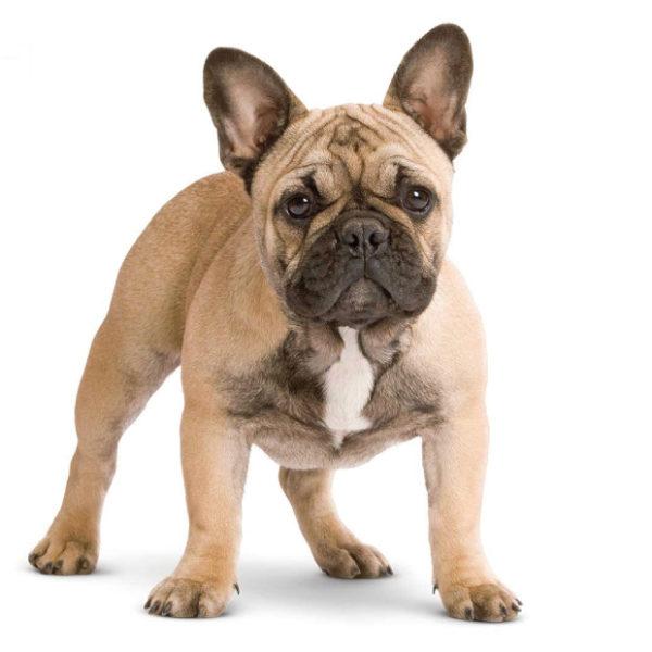 foto-animali_tavola-bulldog